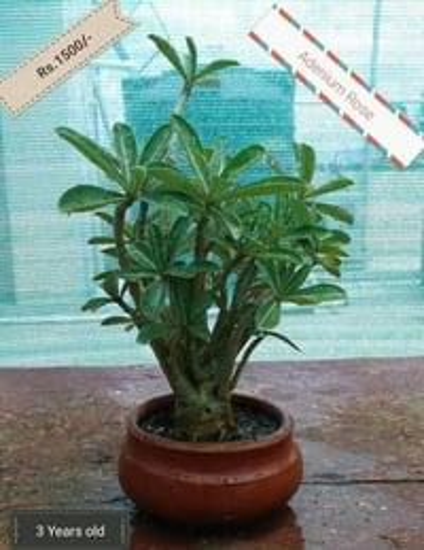 Bonsai Plant - Adenium Rose (Ceramic Pot)