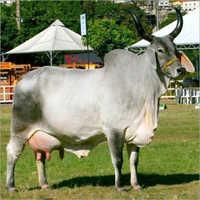 Mehsani Cow