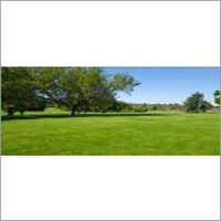 Nursery Lawn Grass