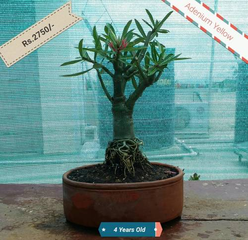 Bonsai Plant - Adenium Yellow