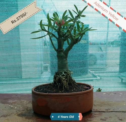 Bonsai Plant - Adenium Yellow