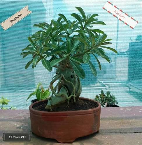 Bonsai Plant - Adenium