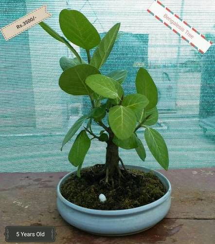 Bonsai Plant - Bengalesis Tree