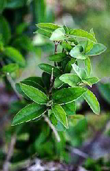 Gymnema Sylvestre Extracts