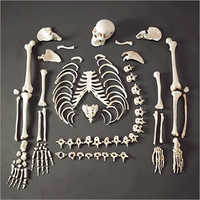 Disarticulated Skeleton