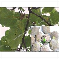 Baheda Medicinal Seeds Terminalia Belerica
