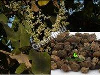 Achar Tree Seeds Buchanania Lanzan