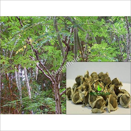 Munga Seeds - Moringa Oleifera