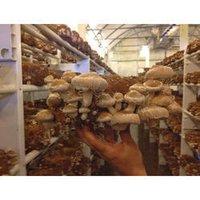 Shiitake Mushroom Extracts