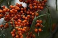 Sea Buckthorn Pulp