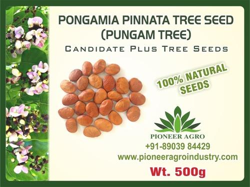Pongamia Pinnata Tree Seed  (Pungam)
