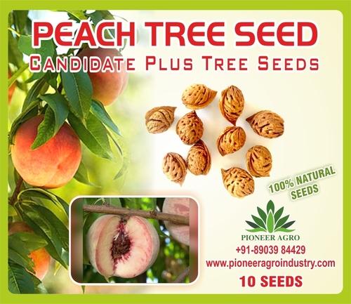 Peach Tree Seed