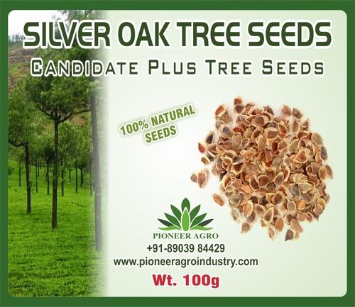 Silver Oak Tree Seeds