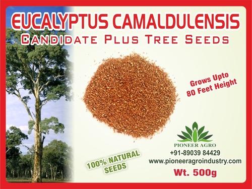 Eucalyptus Camaldulensis Tree Seed