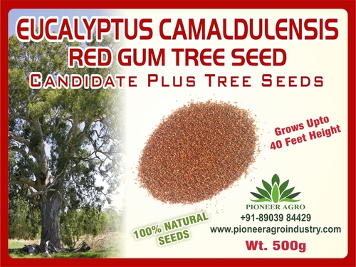 Euclyptus Camaldulensis Red Gum Tree Seed