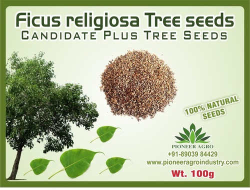 Ficus religiosa Tree seeds
