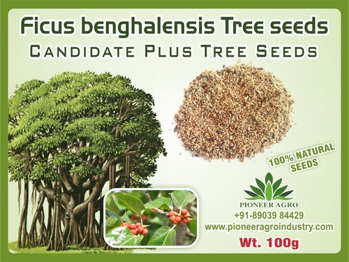 FICUS BENGHALENSIS TREE SEED