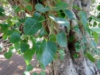FICUS BENGHALENSIS TREE SEED