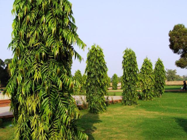 Polyalthia longifolia Tree Seed