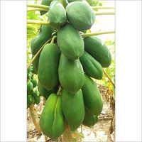 Green Pappaya