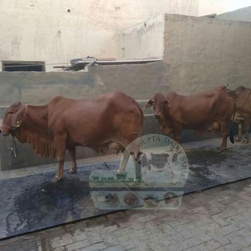 Brown jersei Cow