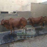 Brown jersei Cow gupta dairy farm karnal