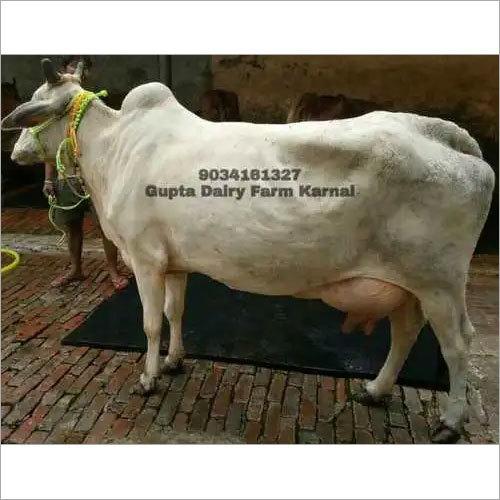 Hariana Cow Gupta Dairy Farm Karnal