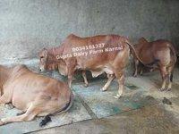 Sahiwal Heifer Cow