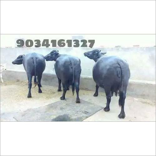 Non Pregnant Murrah Buffalo Gupta dairy Farm Karnal