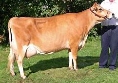 Original Jersey Cow