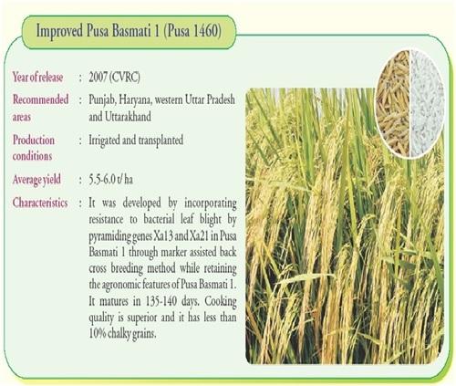 PB 1460 C Pusa Basmati