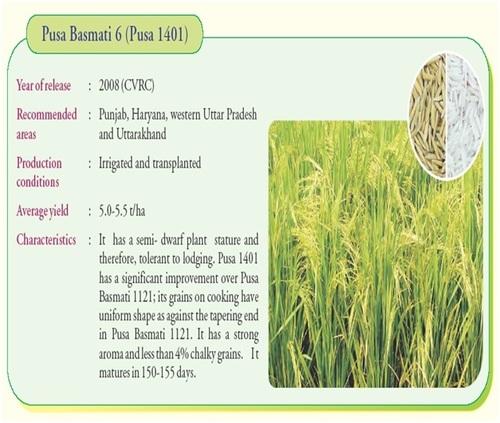 PB 1401 C Pusa Basmati Rice