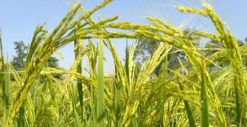 PB 1421 C Pusa Basmati Rice