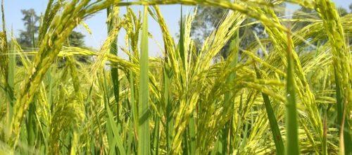 PB 1509 C Pusa Basmati Rice