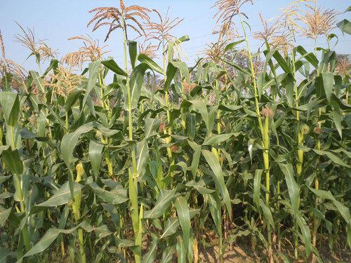 Maize Fodder Seed