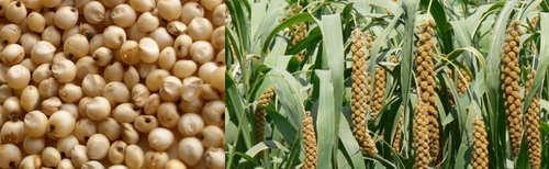 Crop Jowar