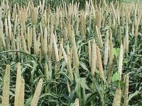 Grass King Jowar Crop