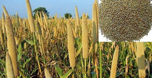 Brar Seed Special Bajra seed-42