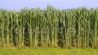 Bajra Ginny Grass-518