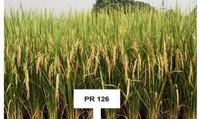 PR 126 Paddy Seed