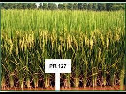 PR 127 Paddy Seed