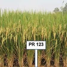 PR 123 Paddy Seed