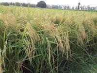 Paddy Seed PR-122