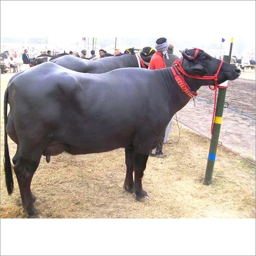 Cow & Buffalo