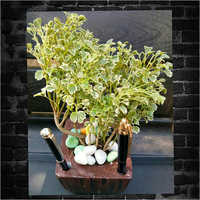 Snow White Aralia Indoor Plants
