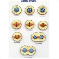 Model of Animal Mitosis