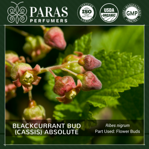Blackcurrant Bud (Cassis) Absolute Oils