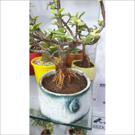 Exotic Bonsai Pot