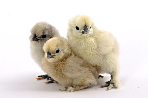 Silky Chicken Chicks