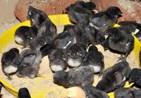 Kadaknath Chicks